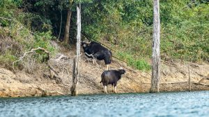 Gaur at Cheow Lan Lake